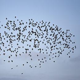 Zwerm spreeuwen